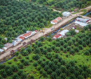 Palm oil harvesting