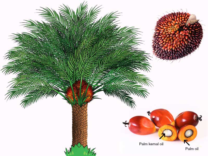 palm oil prductions